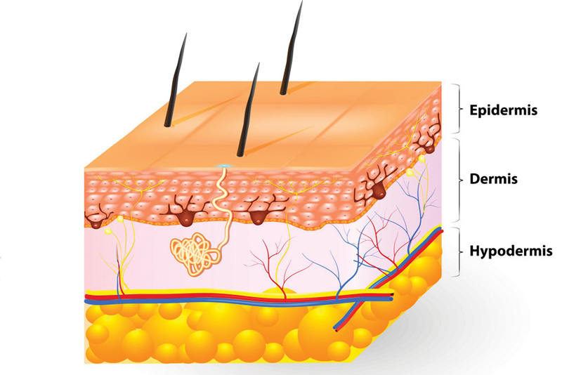 Layers of the human skin